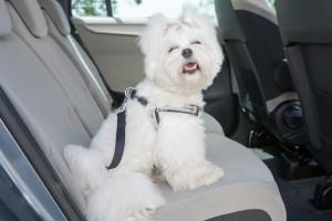 Buckle Your Pets before Hitting the Road